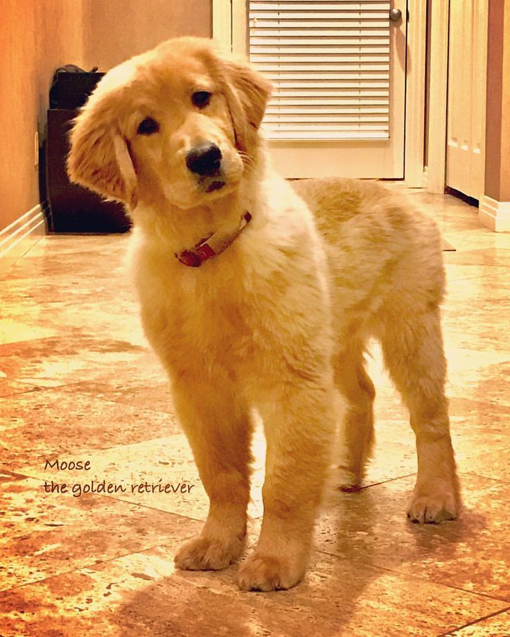 Moose ~ Golden Retriever Puppy...what's u sayin'?