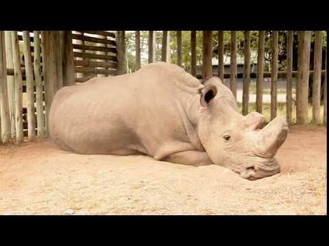 The Last Male Northern White Rhinoceros Lives In Captivity in Kenya