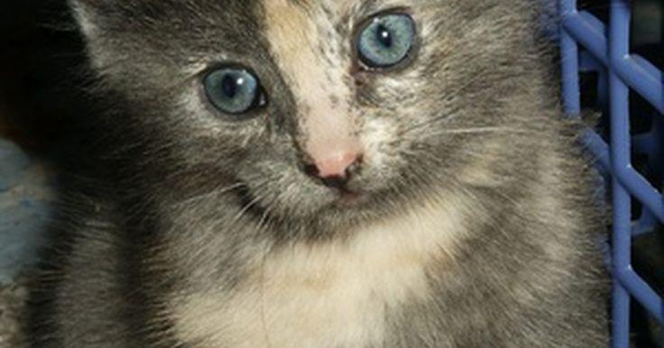 Desarrollo fetal en gatos. Los gatos tienen un período gestacional relativamente corto que promedia 63 días. el tamaño del arenero afecta la longitud actual del embarazo, con areneros más grandes, es más grande el período. El nacimiento previo a los 59 días es considerado prematuro.