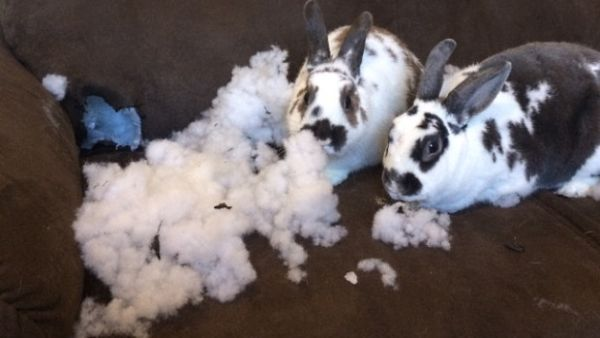 http://www.animalslook.com/these-pets-are-messy-but-still-too-cute-17-pictures/?f=1 #Bunstruction