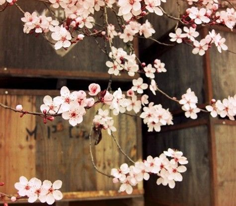 so so prettyCherries Blossoms, Spring Flower, Apples Boxes, Winter Trees, Fine Art Photography, Blossoms Trees, Plum Blossoms, Apples Crates, Cherry Blossoms