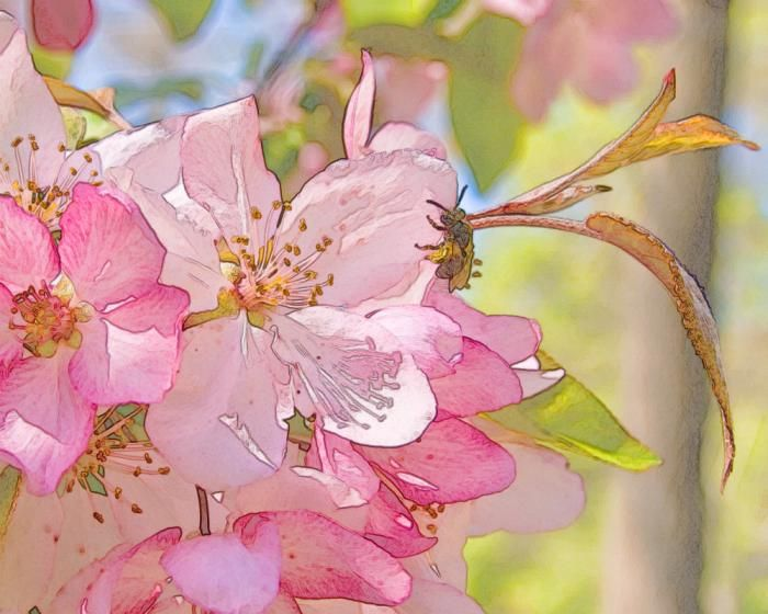 watercolor: Cherries Blossoms, Photoshop Elements, Watercolor Paintings, Watercolor Flower, Beautiful Color, Paintings Flower, Watercolor Fruit, Paintings Watercolor, Apples Blossoms