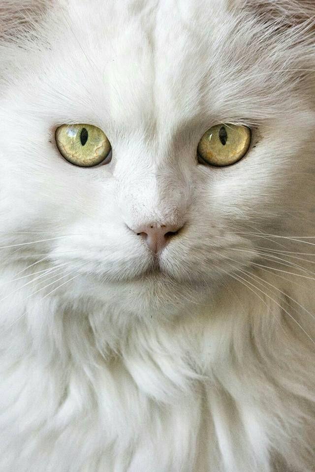 les 116 meilleures images du tableau chats yeux jaunes sur pinterest beaux chats chats et. Black Bedroom Furniture Sets. Home Design Ideas