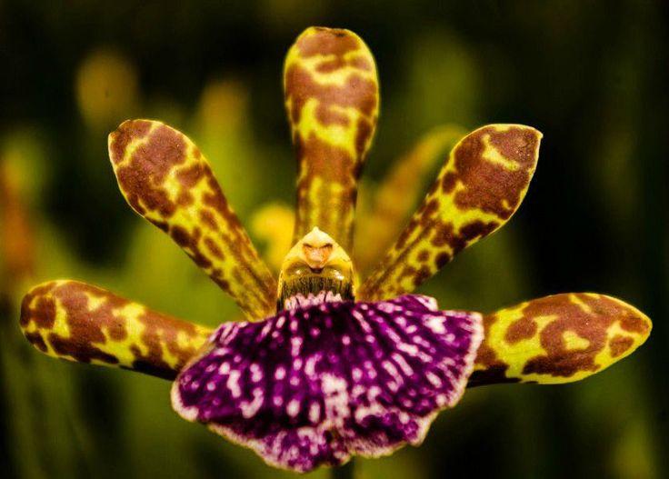 click here for Tiger Oncidium Hybrid  http://earth66.com/botanical/tiger-oncidium-hybrid/