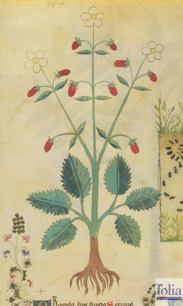 """CONSIGLI DAL MEDIOEVO: LE FRAGOLE - """"La fragola nasce nei luoghi montuosi, umidi e ombrosi. Il frutto mangiato predispone lo stomaco. Con il suo succo si fa un colluttorio per la bocca contro il fetore. Se bevuto con il miele, il succo di fragola guarisce i sofferenti di asma; se bevuto con il pepe bianco, sana mirabilmente"""". Dal codice """"Historia Plantarum"""", fine XIV secolo."""