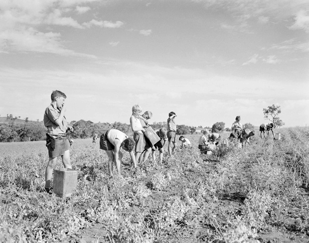 Child migrants picking peas at the Fairbridge Farm School at Molong, NSW. Most children who were sent overseas were not orphans, but taken from their families who could not care for them. Australian child migrants include former ABC boss David Hill, and former federal Senator Andrew Murray.