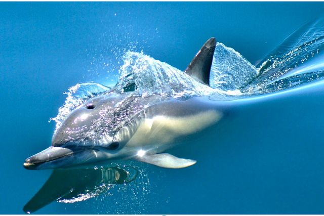 Whale &Dolphin Watching Tours Auckland.  Leave the hustle and bustle of the city behind and travel aboard Dolphin Explorer into the expansive and rich Hauraki Gulf Marine Park.This 4.5hr marine eco safari offers so much more than just whale and dolphin watchingand will be the highlight of your trip to Auckland.Operating daily within this incredible conservation area we have established NZ's only research-based marine mammal experience.  Dolphins are viewed on over 90% of our trips...