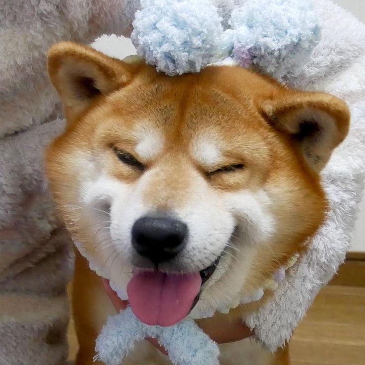 Ⓗⓐⓥⓔ ⓐ Ⓖⓞⓞⓓ ⓓⓐⓨ@matsubaramiho ミポリンさんとこで焼売とクッキー買ってゲットした @shibainuinari いなちゃんママお手製#いなりマフラー を付けて笑顔の写メを1枚は撮らなければ…と思いテンション上げようと昨日買ったピーピーのおもちゃで遊ばせたら…テンション上がりまくりのおやじ早速破壊動画撮る間もなく破壊後の楽しそうな顔は撮れたけど…#やっぱり似合わん#しし丸#ジェラートピケ#おソロっぽい#おかんもパステルカラー似合わない#親友が誕生日にくれた#着心地サイコー#柴犬 #べりやん #berry #shiba #shibainu #doge#shibainumania #shibastagram #instadog #instashiba #dog #dogs #ぷにっと部 #口角キュキュッと部  #チーム俺様 →部員絶賛募集中  #Regram via @shibainu.berry
