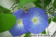Family :Convolvulaceae  Genus :Ipomoea  Species :violacea L. (or tricolor Cav.)