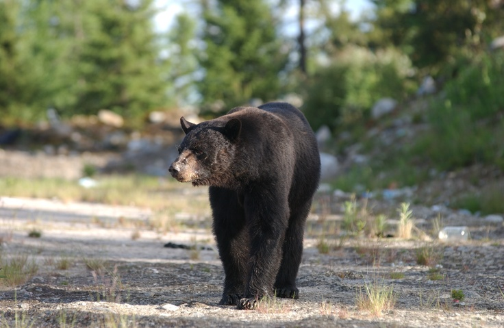 29 Best Images About Coniferous Forest Animals On