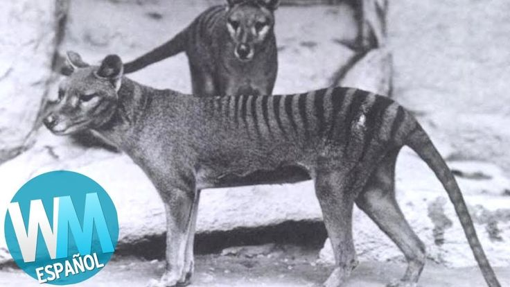 Top 10 Animales Extintos Suscríbete:  Pueden haber desaparecido, pero sus mitos y leyendas aún viven. Únete  a WatchMojo Español para nuestro recuento del Top 10 de animales extintos. Sugiere tus ideas: Facebook: Twitter: source   https://www.crazytech.eu.org/top-10-animales-extintos/