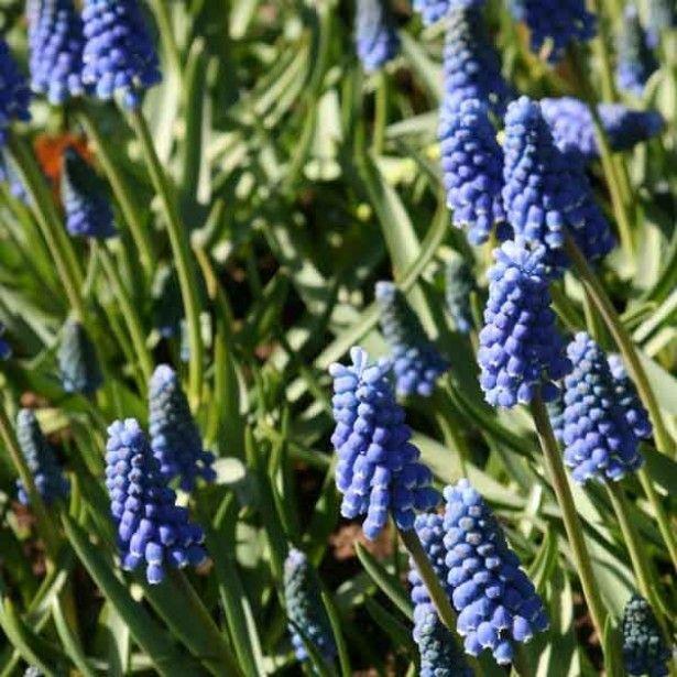 Muscari Aucherii Blue Magic 7+