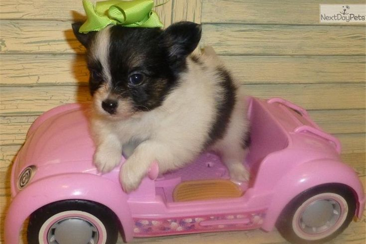 Meet LILLY a cute Papillon puppy for sale for $700. CHION -BABY GIRL LILLY SEE LILLY'S NEW PICS AS OF 05/27/14