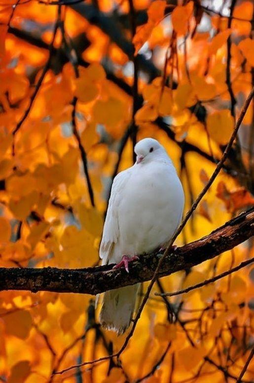 25 Best White Doves Ideas On Pinterest White Glazed