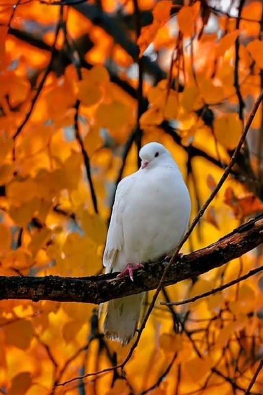 Fall Dove - from Simple Pleasures