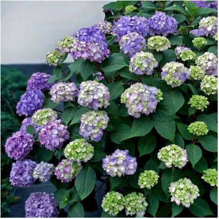 Endless Summer® Hydrangea Bloomstruck ® PPAF