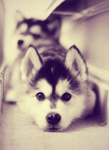 Husky :3