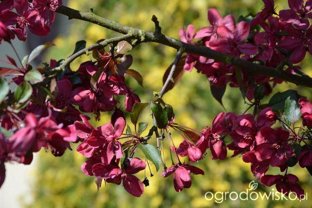 """Jabłoń rajska """"Royalty"""" Ogródek Iwony - strona 1079 - Forum ogrodnicze - Ogrodowisko"""