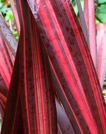 New Zealand red flax