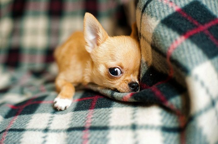 #CleanIngredients  The Best Food for Chihuahua Puppy #dogs #cats