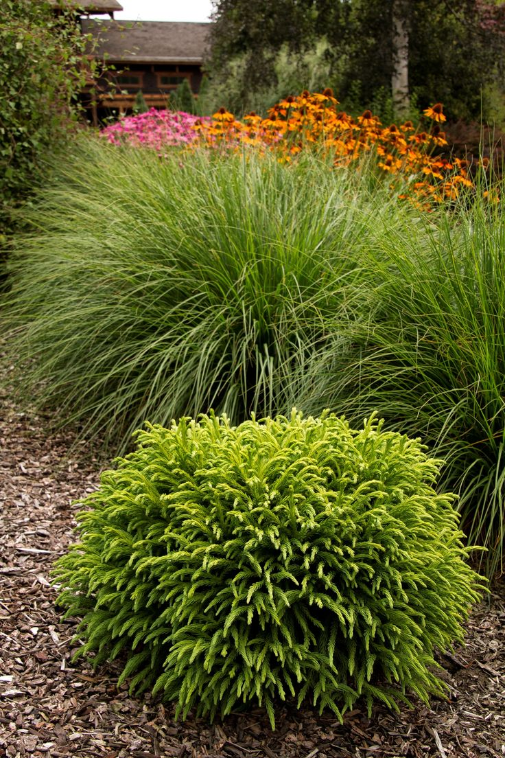 217 best evergreen shrubs images on pinterest for Best landscaping plants and bushes