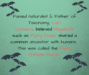 In 1758, famed naturalist & Father of Taxonomy, Carl Linnaeus, announced his belief that Megabats such as%
