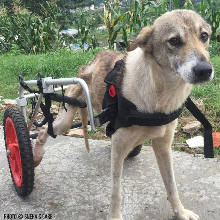 On the streets of Kathmandu there are many dogs that have been hit by vehicles. Not many are lucky enough to receive care. Provide a wheelchair to a disabled dog by donating today!