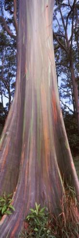 Rainbow Eucalyptus (Eucalyptus Deglupta) Tree, Hana Highway, Maui, Hawaii. On the road to Hana. #maui #hawaii #hana