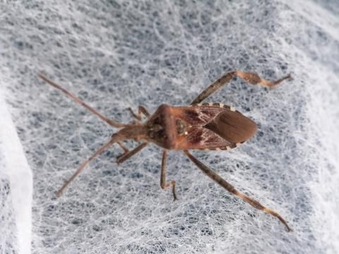 Leptoglossus occidentalis: the western conifer seed bug | The Nature of Dorset