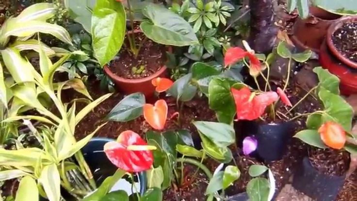 Como cultivar los anturios flowers and plant pinterest for Jardines de anturios