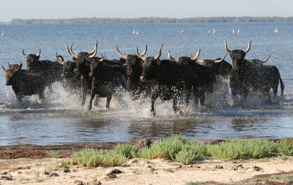 Taureaux en Camargue. / Bulls in the National Park of La Camargue, South of France. #taureaux #camargue