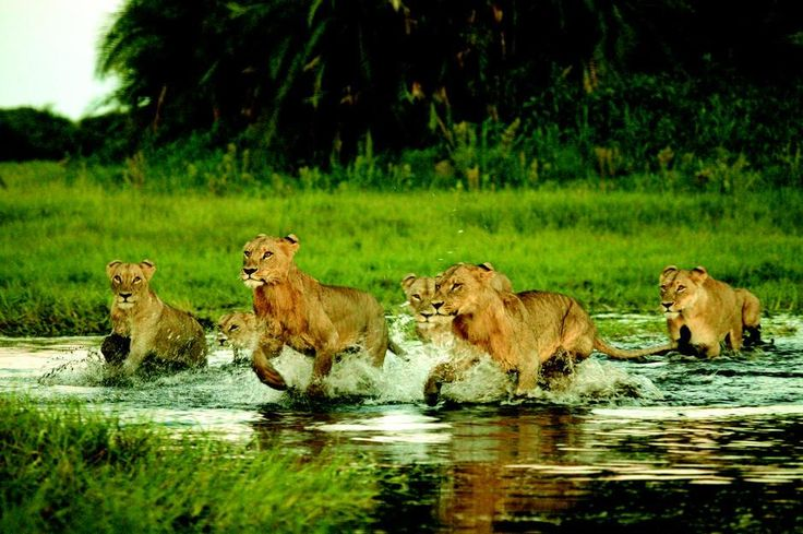 """""""A group of Lions cross a small stream in Okavango Delta. [Photo of the day - March 2011]."""""""