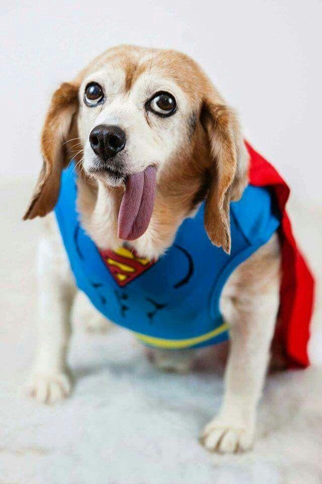 Most Inspiring Beagle Chubby Adorable Dog - 7535cf416492399e04a0ebdf54c7eb13--beagle  Snapshot_636879  .jpg