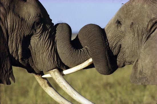 Elephant Connections: Elephants, African Elephant, Animals, National Parks, Photo, Masai Amboseli