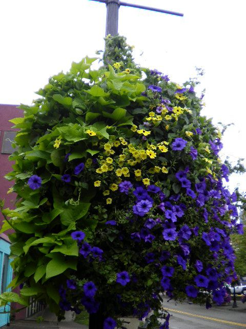 """HANGING BASKET green/purple.  Sweet potato vine, petunias & million bells. Eugene, Oregon.""-JA http://www.pinterest.com/pin/126171227030760315/"