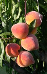 Peach cultivars recommended for southern illinios