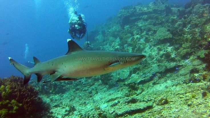 White tip shark  Read more: http://www.traveltherenext.com/adventure/item/486-diving-komodo-national-park  #visitindonesia #komodo #nationalpark #diving #turtles #morays #sharks #experience #adventure #travel #traveltherenext