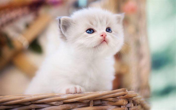 Lataa kuva Ragdoll, pennut, siniset silmät, söpöjä eläimiä, kissat
