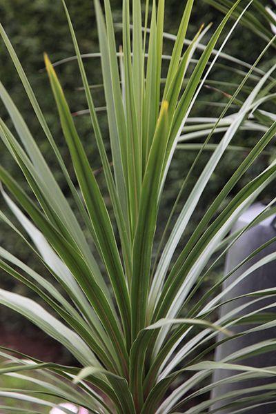 753687d3508cbad4a62fa796b8e3b233 Palm Like Houseplants on palm border, palm bamboo, palm beetle, palm roses, palm rats, palm drawing, palm flowers, palm tr, palm chamaedorea seifrizii, palm trees, palm vector, palm leaf chickee, palm christmas, palm shoot, palm pattern, palm leaf cut out, palm diagram, palm shrubs, palm seeds, palm bonsai,