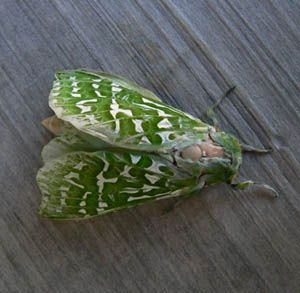 The Puriri Moth is New Zealand's largest forest moth. Sometimes with a  15 centimetre wingspan. Otari Wilton Bush, Wellington. http://www.kennett.co.nz/otariwiltonsbush2/index.php?page=home