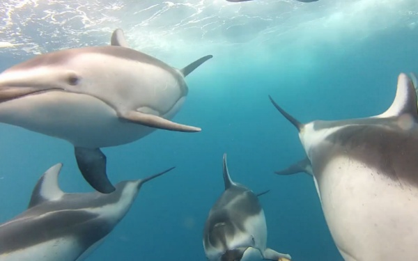 Check out this incredible underwater video footage of dolphins, off the coast of Santa Cruz, Calif.: Hammerhead Sharks, Cgi Videos, Underwater Videos, Dolphins Aren T, Cgi Dolphins, Gopro Footag, Aren T Cgi, Dolphins Videos, Videos Footag