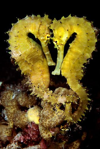 Seahorse love, they hold tails with their mate when they sleep! Most types of seahorses pair for life. Female seahorses lay their eggs inside a pouch on the male seahorse's belly. When the babies are ready to hatch, the male holds onto a piece of seaweed with his tail and rocks back and forth until the babies pop out of his pouch