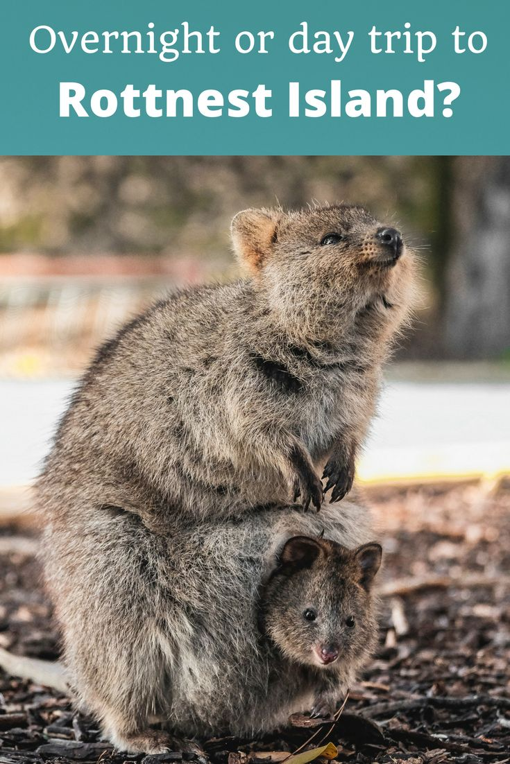 Should you stay overnight or take a day trip to Rottnest Island, off Perth, Western Australia? #Rottnest #WesternAustralia #Australia #quokkas