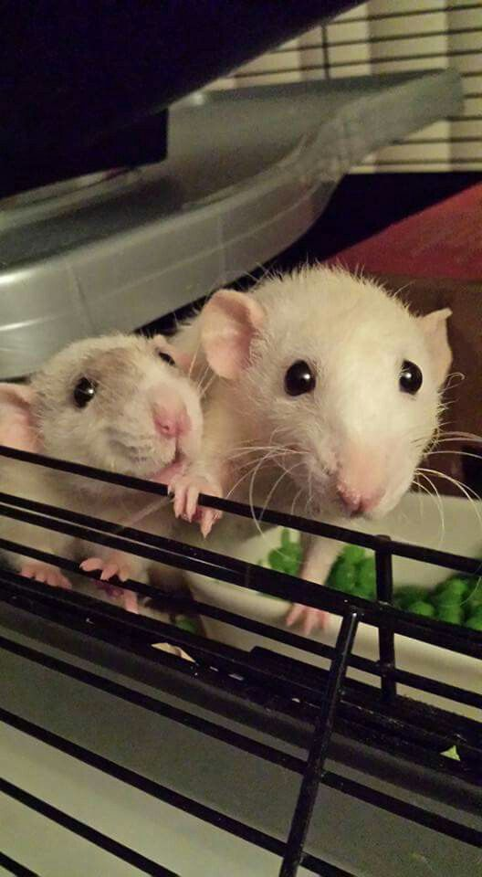 Rat Fan Club