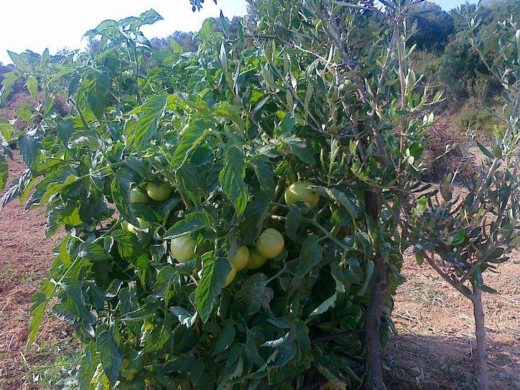 G & M - Χρώμα... Ελληνικό!    Καλλιέργεια ντομάτας