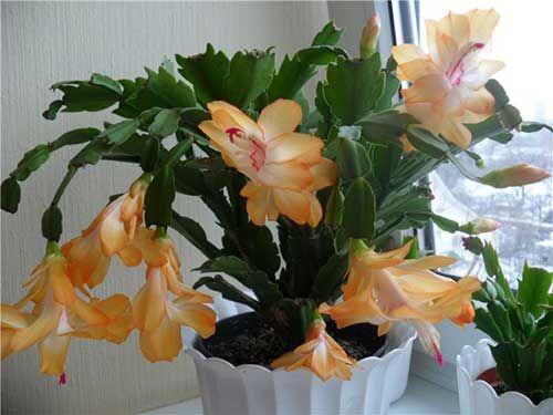 красивое  комнатное растение декабрист  и  уход за ним