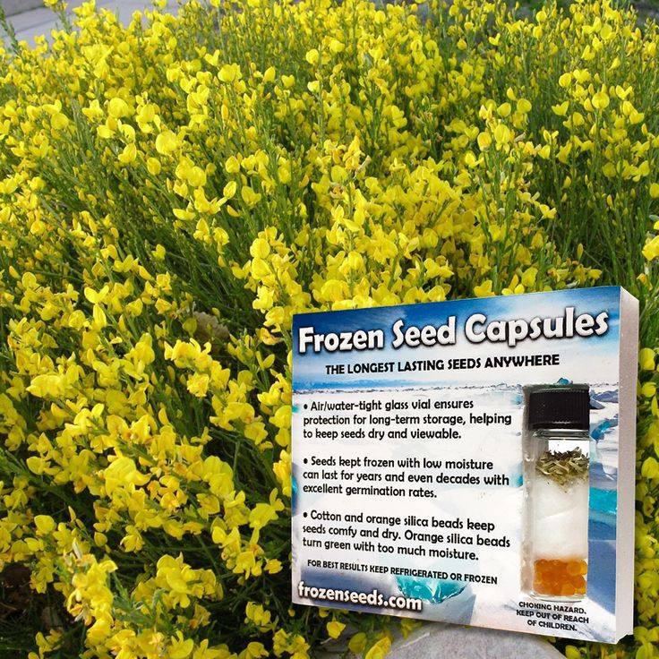 Spanish Broom Seeds (Spartium junceum) + FREE Bonus 6 Variety Seed Pack - a $30 Value!