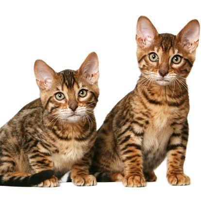 Dragon Li Cat | Popular cat breeds, Cat and Egyptian mau