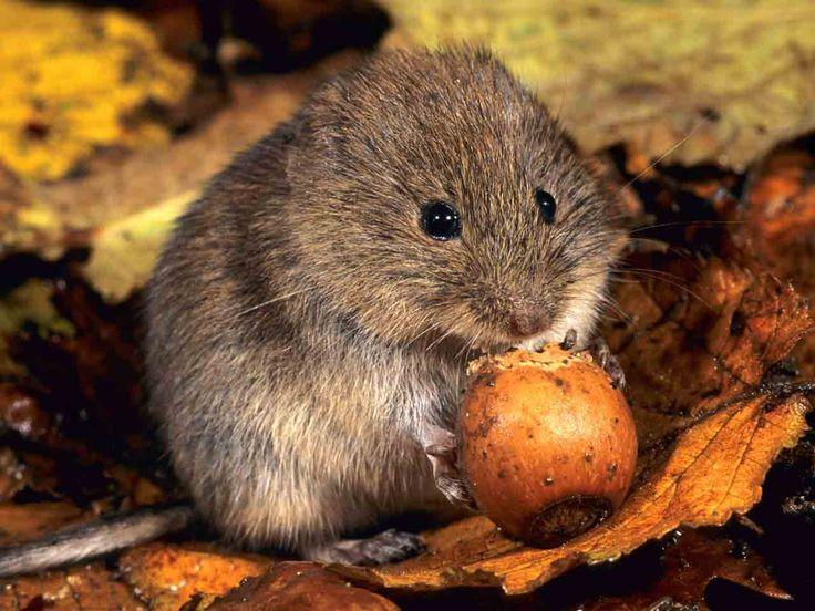 83 best vole images on pinterest british wildlife