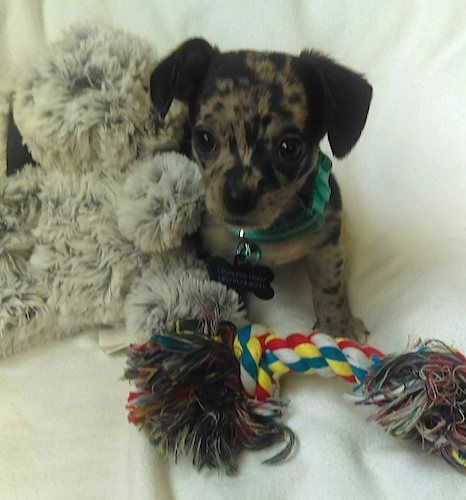 A multi colored Chihuahua puppy is wearing a green collar with a large bone tag hanging from it and sitting next to a plush stuffed animal and behind a rope toy.